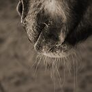 Horse Whiskers by Clare McClelland