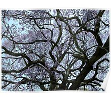 Flowering Jacaranda Tree Poster