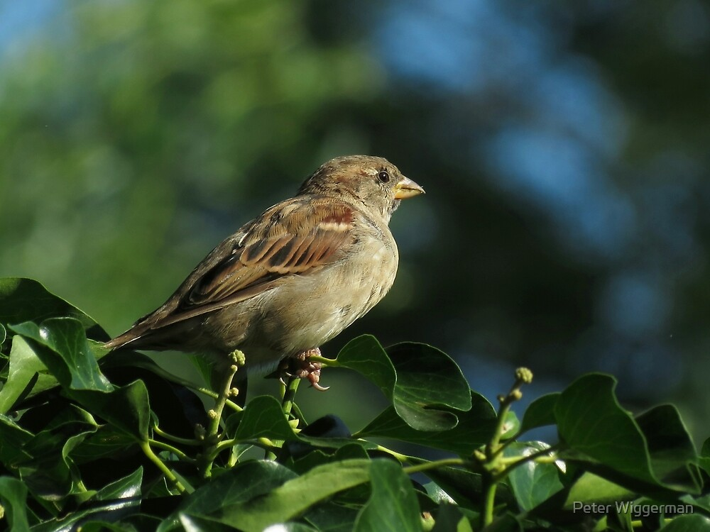 House sparrow on the hedge by Peter Wiggerman