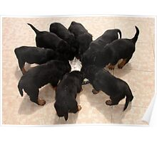 Nine Rottweiler Puppies Eating From One Food Bowl Poster