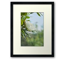 The Sweet Magnolia Tree Framed Print
