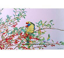 Green Rosella in Red Berry Tree Photographic Print