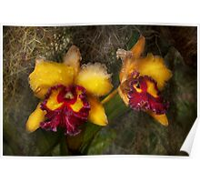 Orchid - Cattleya - Dripping with passion  Poster
