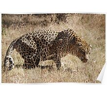 Leopard waiting to pounce Poster