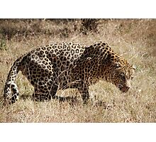 Leopard waiting to pounce Photographic Print