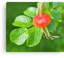 Rose hip fruit Canvas Print