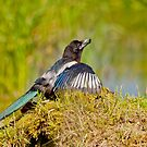 Juvenile Magpie by M.S. Photography/Art