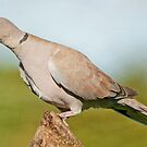 Collared Dove by Margaret S Sweeny