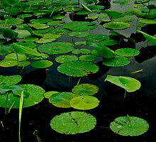Lily Pads on Dark Water-Photograph by Paul Wolf