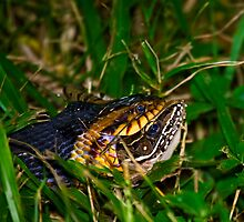 Broad-banded Water Snake and Breakfast by Paul Wolf