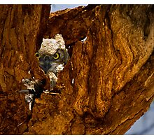 Baby Great Horned Owl in Nest Photographic Print