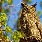 Great Horned Owl (Bubo virginianus) by Paul Wolf