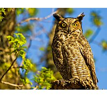 Great Horned Owl (Bubo virginianus) Photographic Print