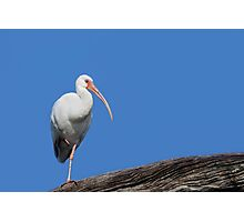 White Ibis-Blue Sky Photographic Print