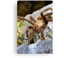 Texas Brown Tarantula (Aphonopelma hentzi) Canvas Print