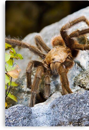 Texas Brown Tarantula (Aphonopelma hentzi) by Paul Wolf