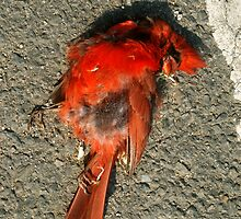 Dead Red Cardinal by stuwdamdorp