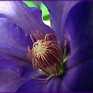 Inside the Clematis by PatChristensen