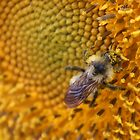 Mr. Honey Bee by Jeanette Muhr