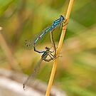 Common Blue Damselflies by MikeSquires