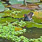 Comon Moorhen Swiming amongst lotus leaves by srijanrc