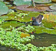 Comon Moorhen Swiming amongst lotus leaves by srijanrc
