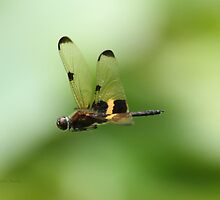 Dragonfly (Yellow-Striped Flutterer) by Nikki25