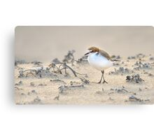 Red-capped plover Canvas Print