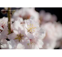 Almond Blossom Photographic Print
