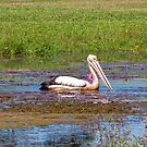 pelican on a pond by Sue Downey