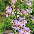 Penstemon (Mother of Pearl) by Tom Curtis