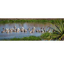 Pelicans at Fogg Dam Photographic Print