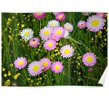 Springtime Everlastings Poster