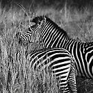 Animalia II - Crawshay's Zebra by Oliver Parish
