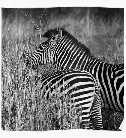 Animalia II - Crawshay's Zebra Poster