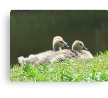 Goslings raring to snooze Canvas Print