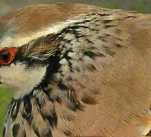 Red Legged Partridge by woodlandninja