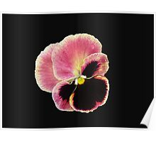 All Alone - Pansy on Black Background Poster