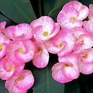 Pink Euphorbia by lensbaby