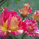 The Rose Splash  by Laura Mancini
