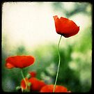 Morning Poppies by Marc Loret