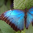 blue morpho butterfly by Linda  Makiej Photography