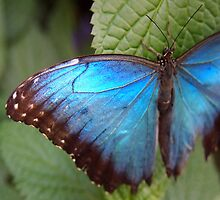 blue morpho butterfly by Linda  Makiej