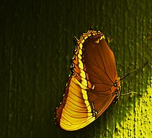 Butterflies III  by ThinkPics