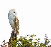 Barn Owl by Ellesscee