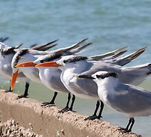 Terns In Line by Bob Hardy