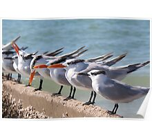 Terns In Line Poster