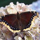 mourning cloak butterfly by Linda  Makiej