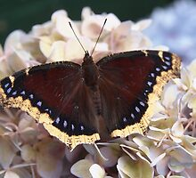 mourning cloak butterfly by Linda  Makiej Photography