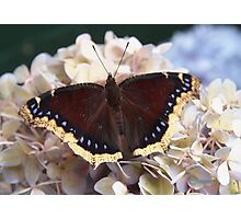 mourning cloak butterfly Photographic Print